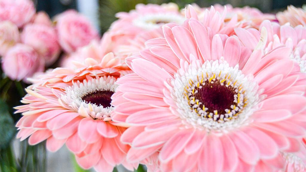 Gerberas Flores no Cais