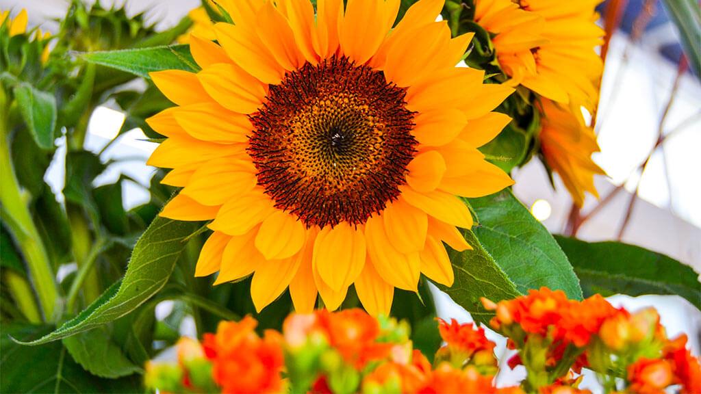 Girassóis Flores no Cais