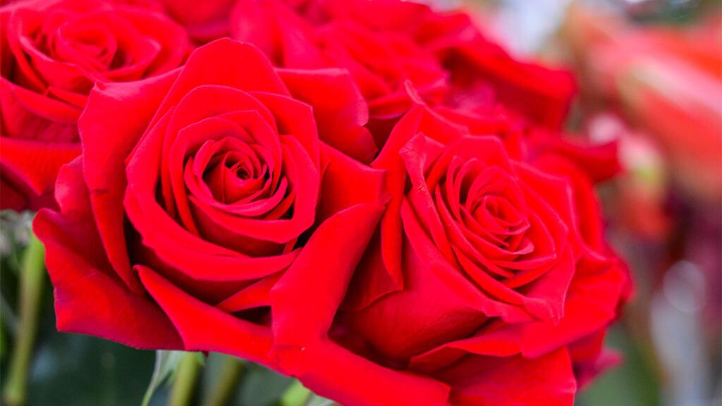 Rosas vermelhas Flores no Cais