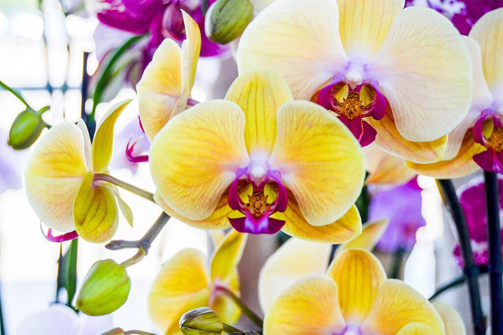 5 Dicas para uma Orquídea Bonita e Saudável