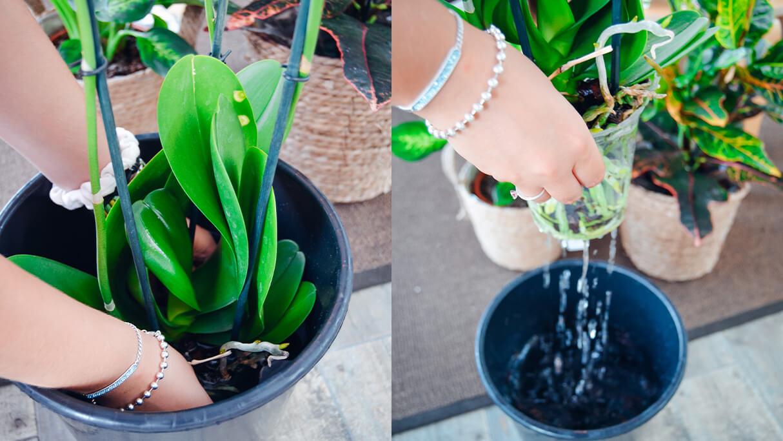 Dicas para cuidar de Orquídeas - Técnica de Rega