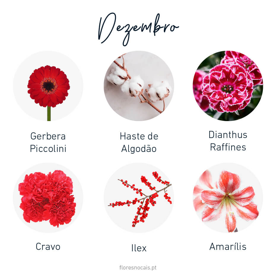 Flores do mês de Dezembro: Gerbera Piccolini, Gaste de Algodão, Dianthus Raffines, Cravo, Ilex e Amarílis.
