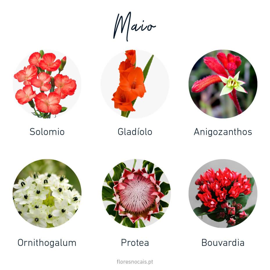 Flores do mês de Maio: Solomio, Gladíolo, Anigozanthos, Ornithogalum, Protea e Bouvardia.