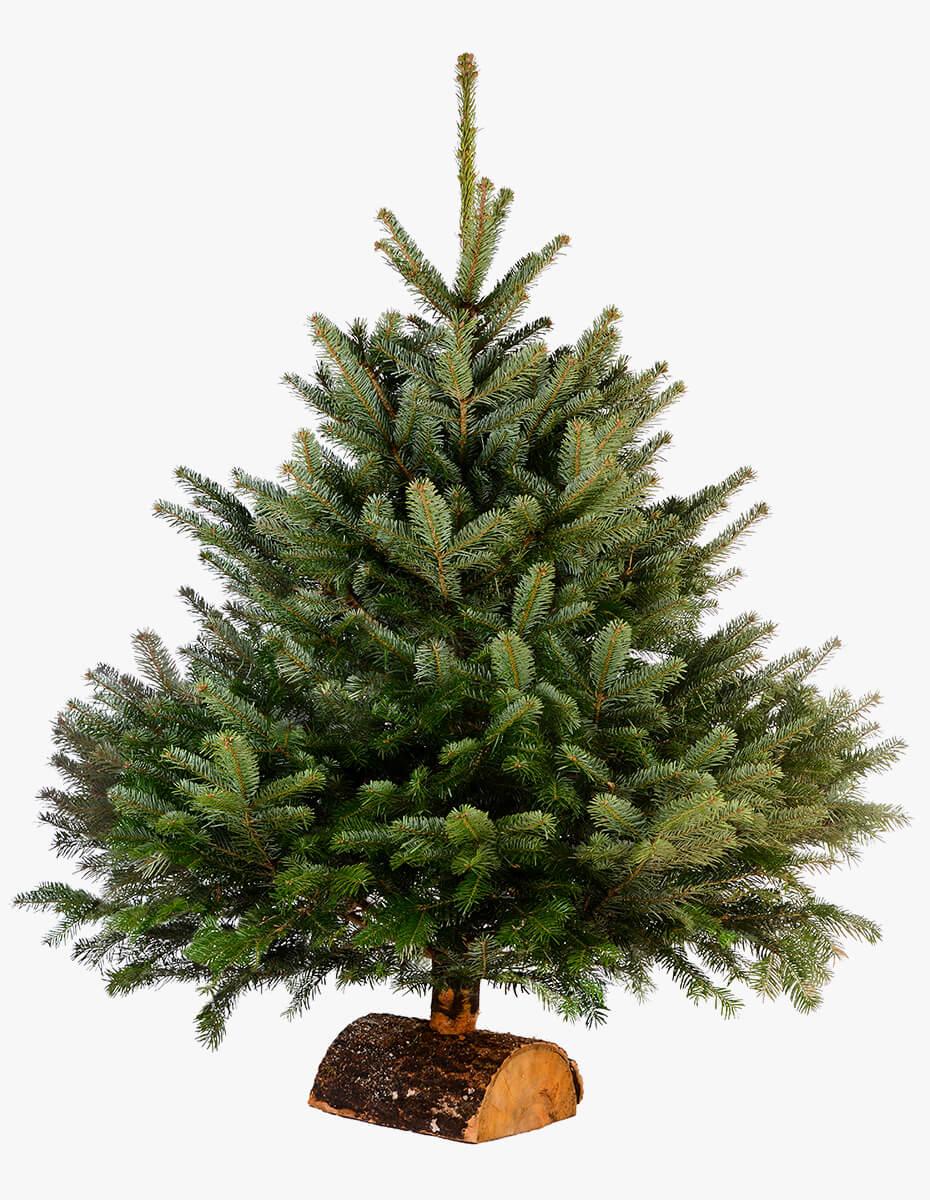 Pinheiro de Natal Natural