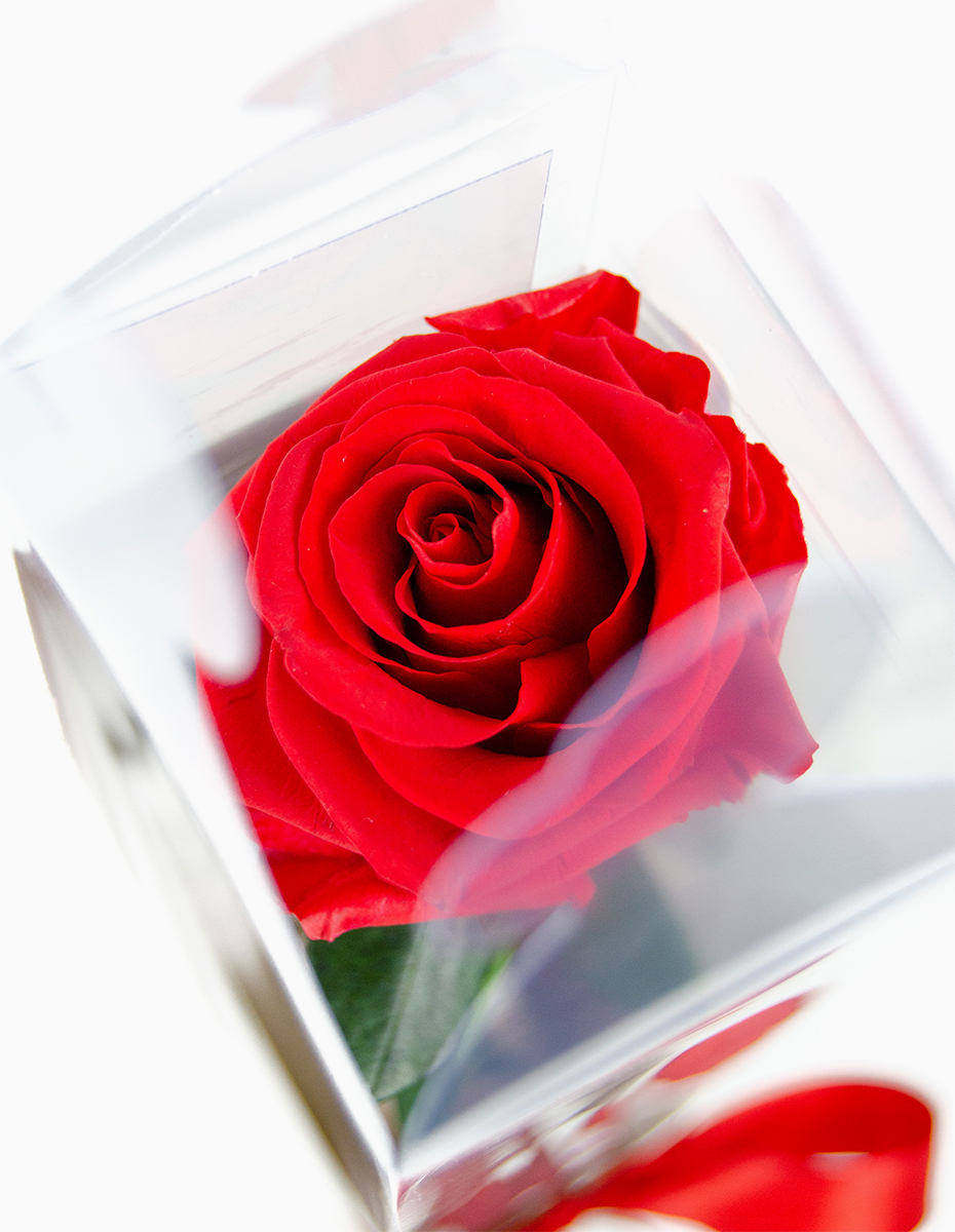 Rosa Vermelha Preservada
