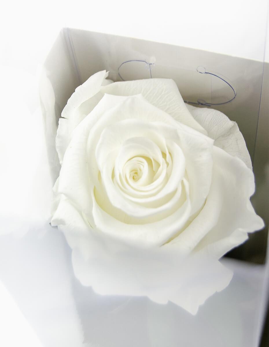 Rosa Branca Preservada
